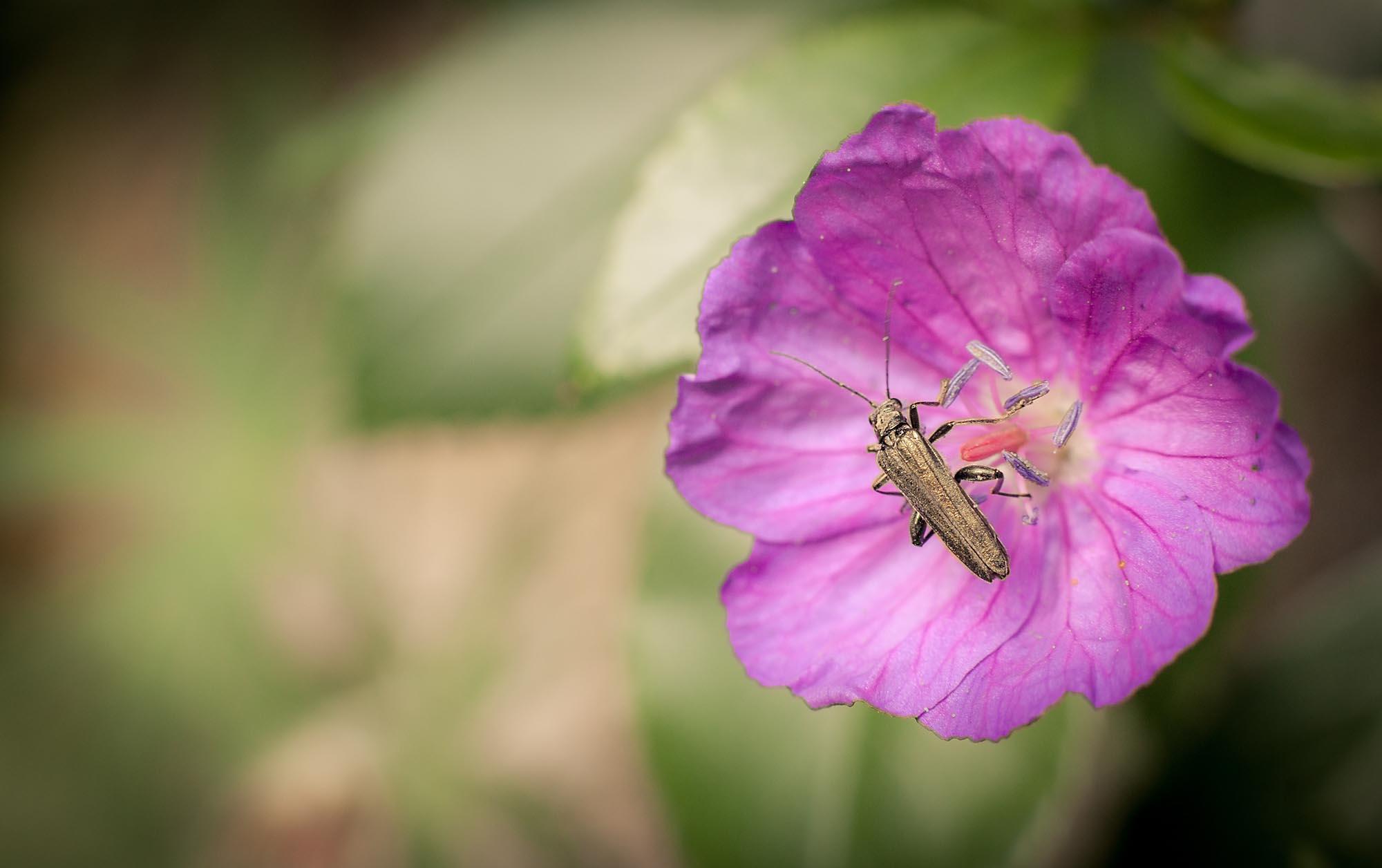 """Ein Käfer auf einer Blume, fotografiert mit einem 50mm-Objektiv mit Zwischenring. Mit dieser Brennweite muss man schon sehr nah an das Motiv heran - die Gefahr, dass es """"wegflattert"""" ist sehr groß. Hier hatte ich Glück."""