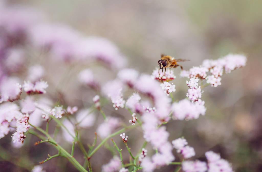 Gran Canaria 2017 - Biene auf Blüte im Botanischen Garten (Gran Canaria)