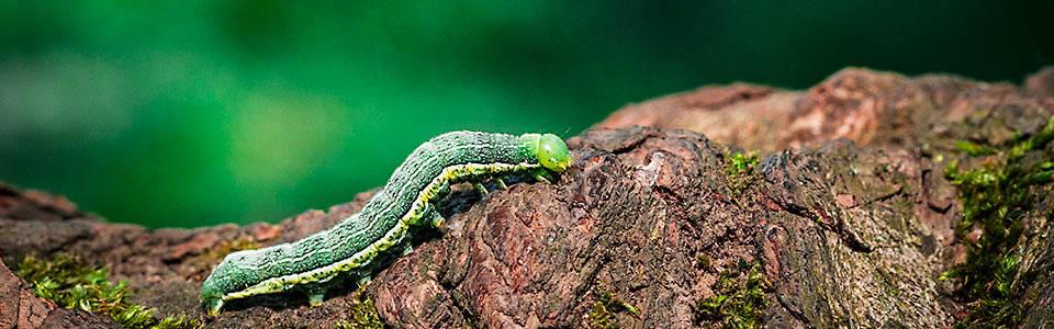 Eine Raupe auf einem Baum, Makroaufnahme Natur