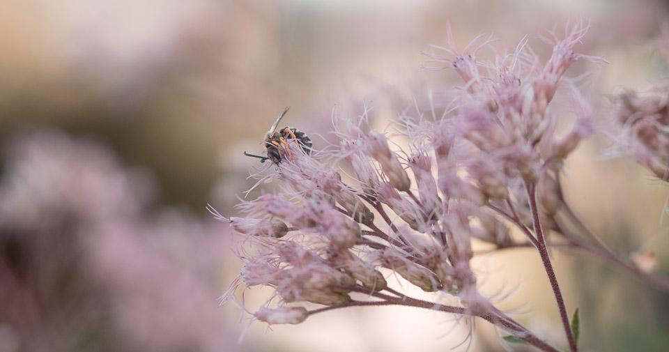 Beispiel Offenblende - Biene im Garten