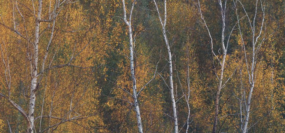 Herbst Birken Impression