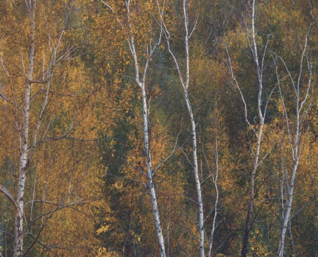 Birken im Herbst - malerische Herbstimpression